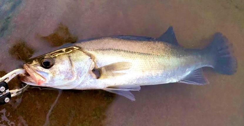 身近な大物『シーバス』の釣り方とは? 最初の1尾はマジ感動しますよ